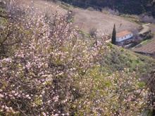 Almond Tree Fest